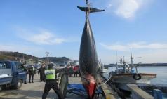 구산항 인근 해상 밍크고래 그물에 걸려 죽어