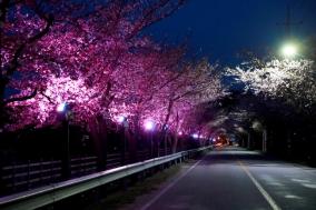 산포리 망양정로 일원, 벚꽃길 야간경관조명 설치